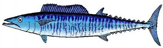 Especies del Caribe Mexicano, El Wahoo