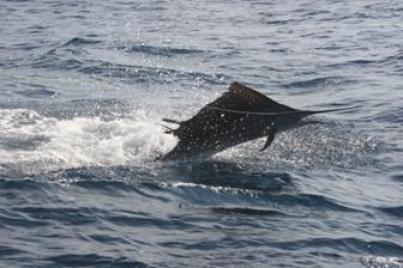 Especies del Caribe Mexicano, el Pez Vela