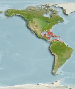 Especies del Caribe Mexicano, la Cubera