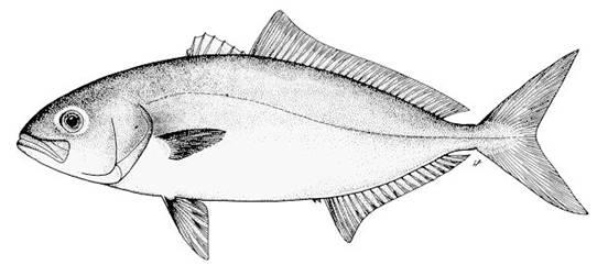 Especies del Caribe Mexicano X, el Coronado